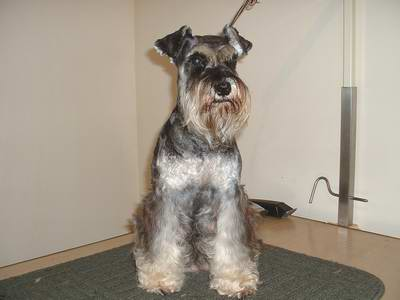Picture of Remi groomed